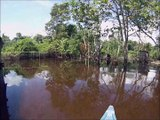 Abeilles mélipones Amazonie (Brésil)