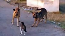 Cats and dogs   funny videos   cool cat   Cat wins two Dogs   funny animals