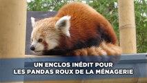 Un enclos inédit pour les pandas roux de la Ménagerie