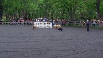 Border Collies herding sheep @Maryland Sheep and Wool Festival 2009
