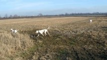 Dogo argentino trying to find some pheasant