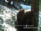 Vidéos automatiques ours Pyrénées : Haute-Garonne - Mai 2013 © ONCFS Equipe Ours