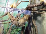 Two-toed sloth at the National Zoo