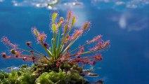 Böcek Avlayan Bitki - Güneş Gülü