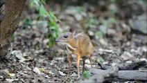 geyik faresinin yasamları belgesel