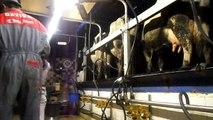 traite des vaches