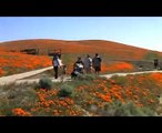 California Poppies at The Antelope Valley California Poppy Reserve 2008