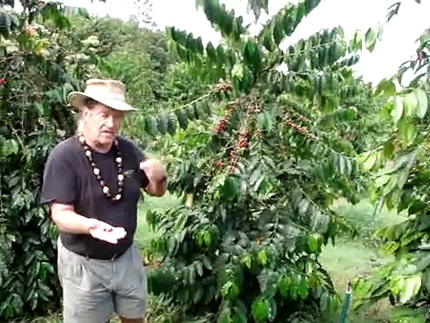 04 Coffee Trees on Lyman Farms