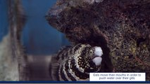 Snowflake Eels - Feeding