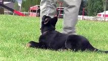 Kato vom Kraftwerk - Trained German Shepherd Puppy For Sale