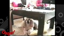 Funny Animals - Funny Home Videos - The Singing Dog - Must Watch