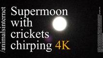 Supermoon with crickets chirping / Super lua com grilos cantando / 4k. UHD. 2160p