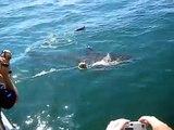 Ataque de tubarão branco - África do Sul - 04/03/2008