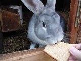 Кролиководство, кормление кролика хлебом