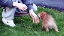 Shiba pup says hello (the Shiba smile)