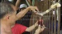 Best Most Amazing Cambodia Cobra Snake eating Cult Blood Wine Black market
