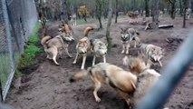 Une meute de loups s'attaque au chef de meute, le loup omega - Violent!