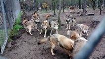 Une meute de loups attaque un loup oméga