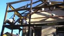 posta güvercini fabry jansen hermes tanıtım / pigeons fabry Jansen hermes presentation