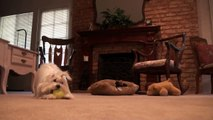 Cute Maltese Puppy Dog Plays with Giant Tennis Ball Funny