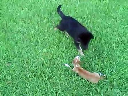 german shepherd vs. chihuahua