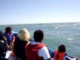 Ballena Gris en Baja California Sur 14 de Febrero 2010