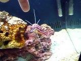 Skunk Cleaner shrimp cleans my hand!