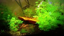 Crystal Red and Cherry Shrimp with Extensive Caring Tips