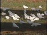 Sulphur-crested Cockatoos feeding in the Wild
