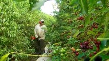 Globo Minas  Mãos mecânicas mudam cenário de colheita de café no Sul de Minas