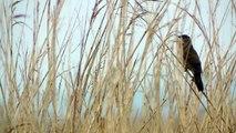 Extreme close-up of Savi's Warbler reeling in Newport Wetlands