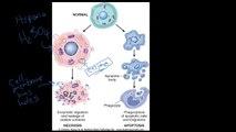#4 - Introduction to Pathology - Necrosis vs. Apoptosis