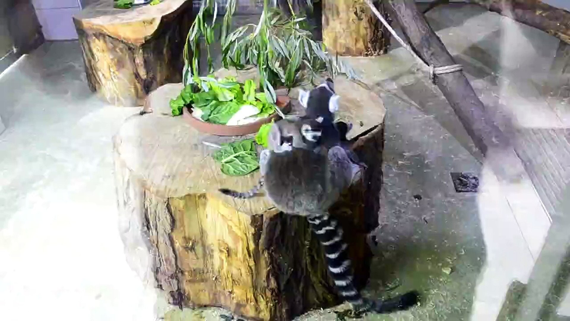 Baby Lemurs Play About in Bosnian Zoo