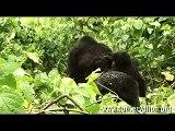 Alto a las masacres de gorilas