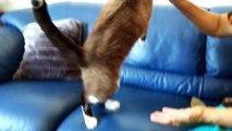 Cat siamese cute brush gatto siamese spazzola, gatto si spazzolata solo,