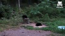 Котам медведи пофиг