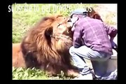 Living with Lions - Dangerous Companions[ National Geographic Wild ]