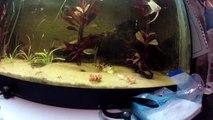Botias y cebritas comiendo cangrejo - Botia and zebrafish feeding crawfish - PandA