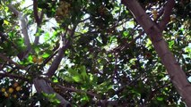 Southern California Birds & Trees: Red Crested Robin & Kumquat Tree