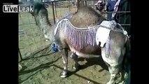 Midget Camel Sells for 5200 Saudi Riyals or 1386.65 US Dollars.