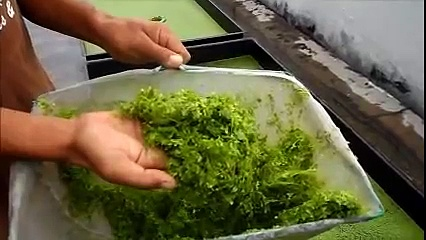 Duckweed Harvesting & Fish Feeding – Autopot Aquaponics