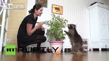 Russia: Meet Fedor, Russia's famous pet raccoon