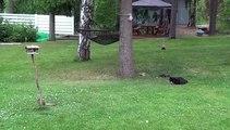 Un écureuil qui joue à chat perché pour échapper à un chat.