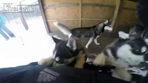 Huskies doing what Huskies do!