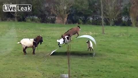 Playful goats havin fun