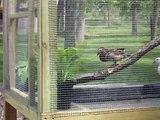 My Mandarin Ducks - Mandarins - Aix Galericulata