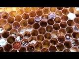 Beekeeping: Moldy Pollen