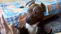 Pit Bull Türkiye (American Pit Bull Terrier) - Tyler Durden