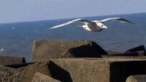 Rare/Zeldzaam: Glaucous Gull / Grote Burgemeester (Larus Hyperboreus)