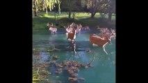 Un troupeau de Cerfs prend son bain dans un étang... Moment magique